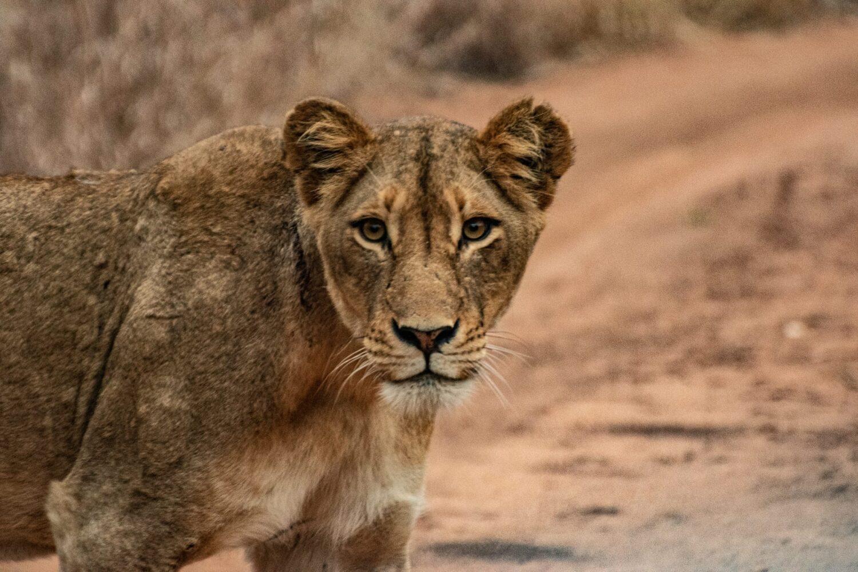 Bästa tiden att åka till Sydafrika för att se lejon som denna är under våra sommarmånader.