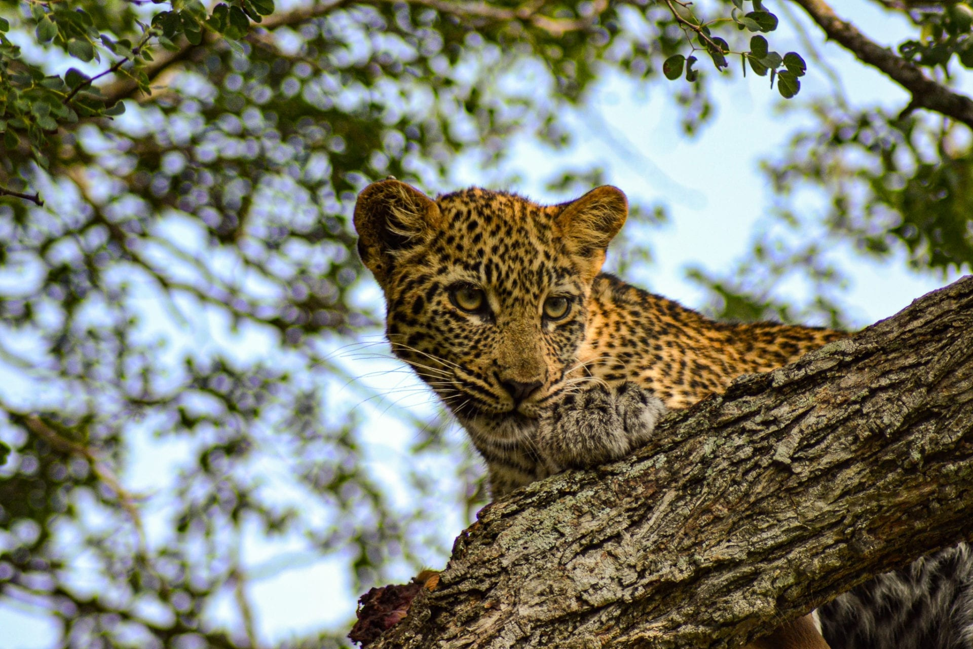 får man resa till Tanzania och se leoparder som denna