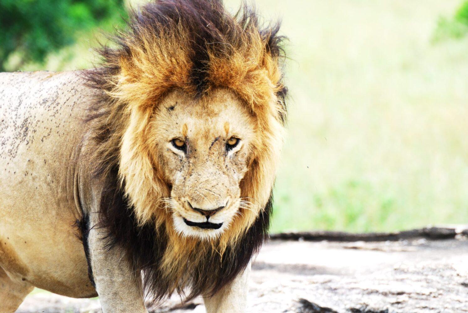 Tips inför din resa till Kenya - ta med kameran så du kan ta bilder på djuren du ser, som lejonhannen här