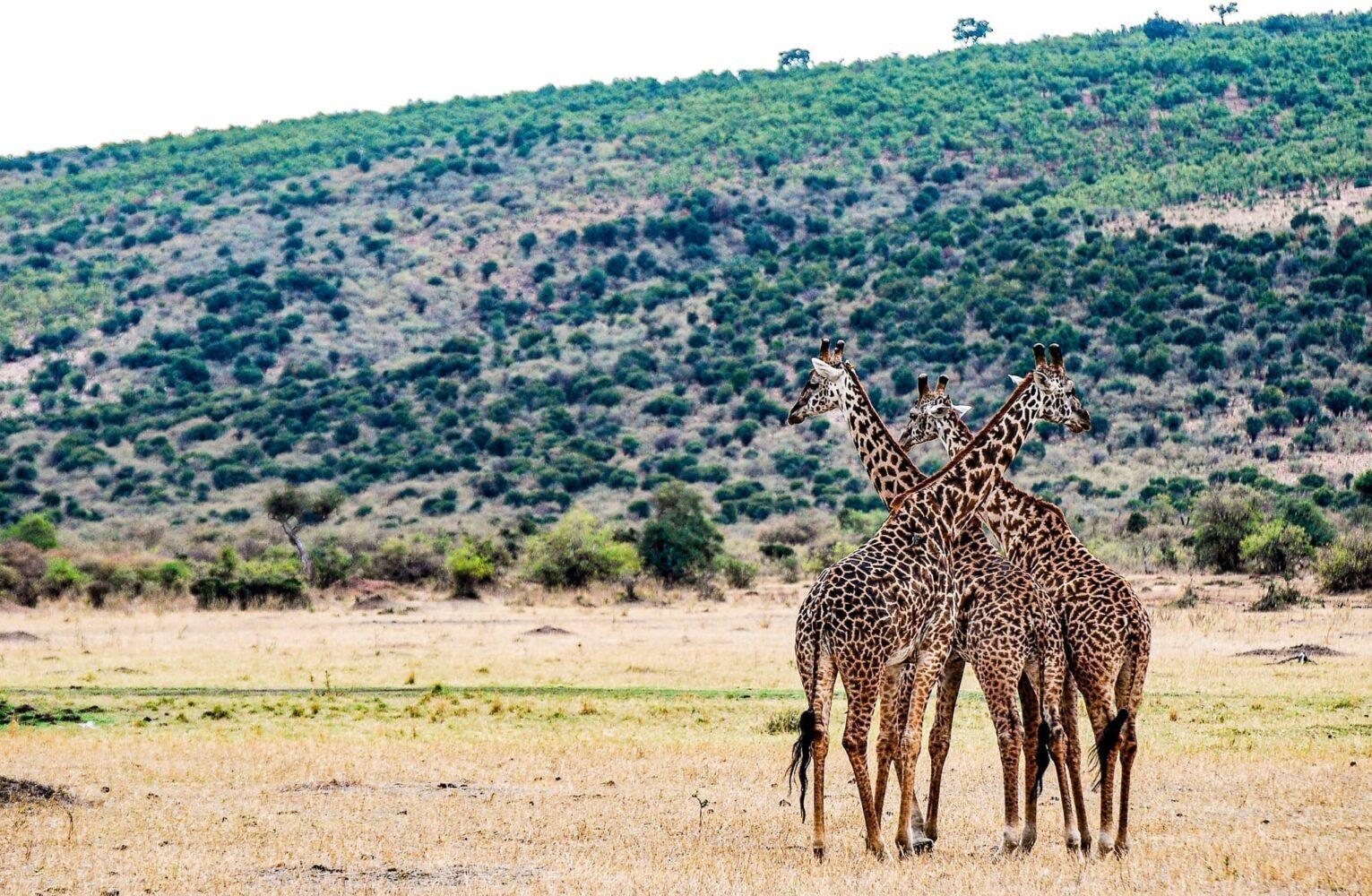 tre giraffer kurar ihop sig på den afrikanska savannen. Tips inför din resa till Kenya – glöm inte att ta med kameran!