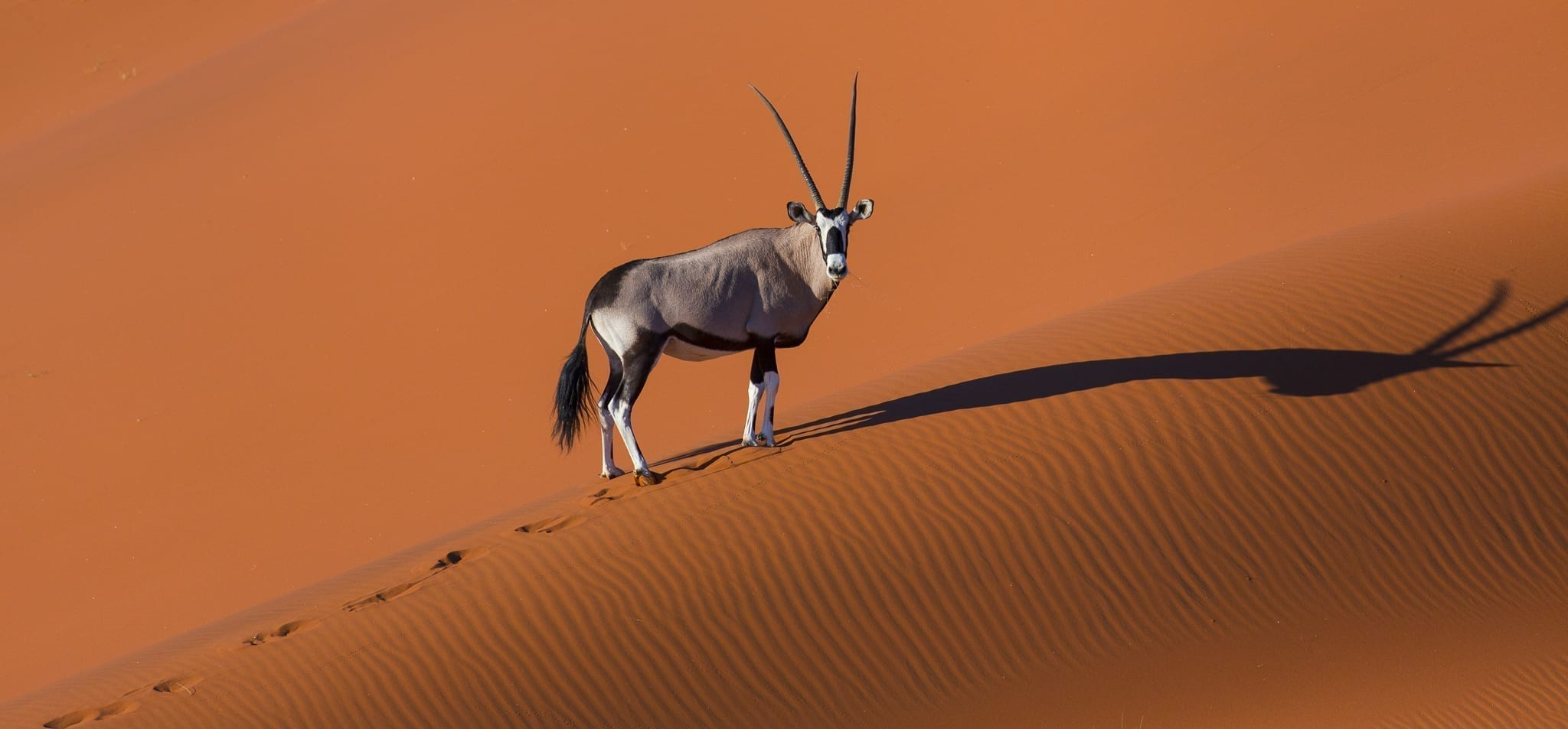 Det här tror vi händer i resebranschen 2021 - bland annat fler resor! En oryx klättrar uppför en sanddyn i öknen i Namibia – vi hoppas att det blir fler resor