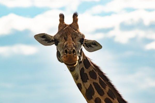 giraff närbild, precis som på safari i Kenya