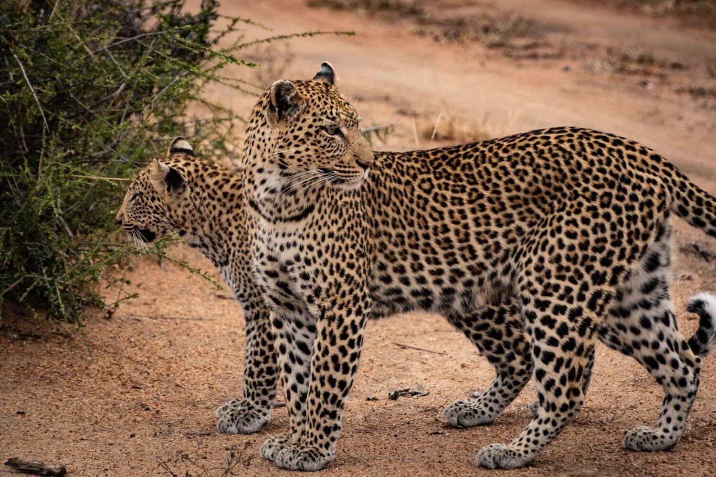två leoparder på en väg