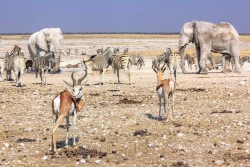 Bästa tiden för en safari i Afrika – Ökenlandet Namibia är bäst att besöka under de frodigare månaderna april och maj, men bäst möjlighet att se djur har du i de torrare månaderna juli till oktober.
