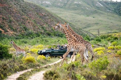 Vill du se giraffer som på bilden? Bästa tiden för en safari i Afrika beror på vilket resmål du väljer.