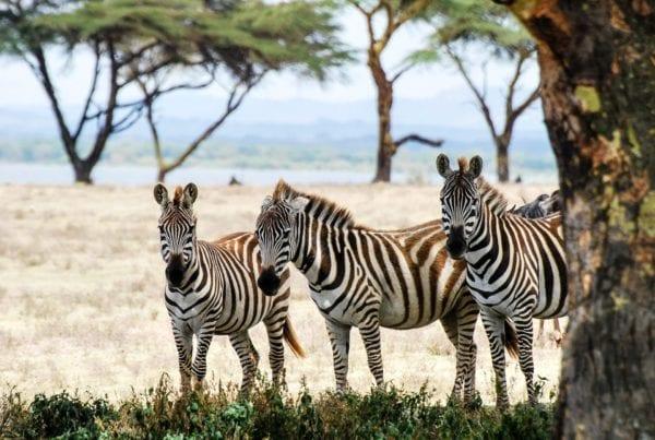 tre zebror i skuggan av ett akaciaträd. Bästa tiden för en safari i Afrika är olika beroende på destination