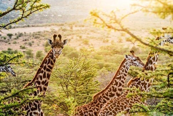 giraffer tittar i kameran med solen i bakgrunden. På safari i Kenya kan du se den här synen.