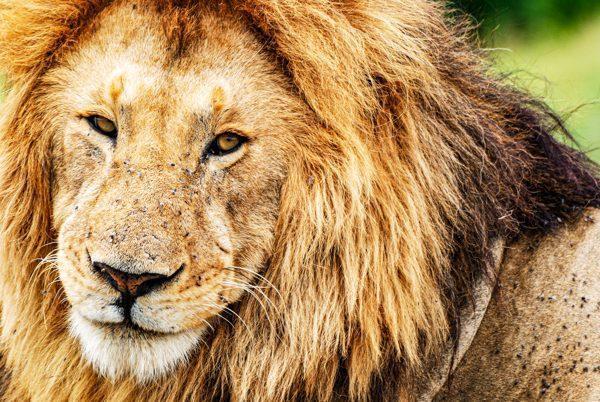 Närbild på en lejonhanne som verkar titta direkt in i kameran, en inte helt ovanlig bild att ta när du är på safari i Kenya, Afrika