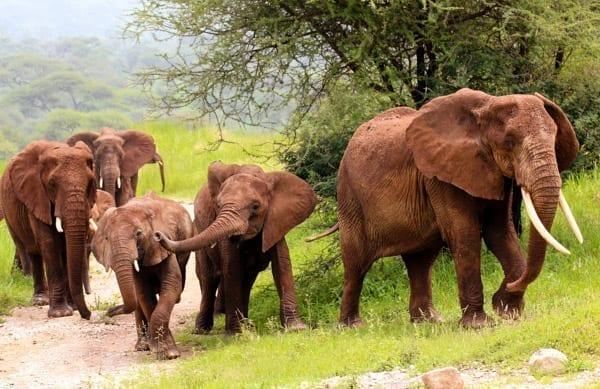 En hjord elefanter, varav två lite mindre som leker med varandra, går långsamt igenom Tarangire-parken, ett bra resmål för din safari i Tanzania