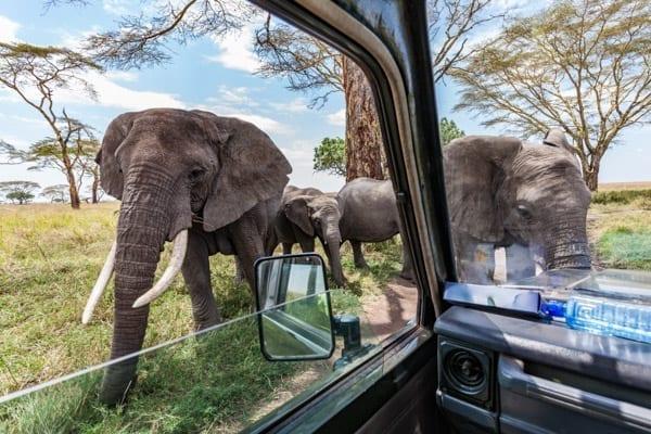 Elefanter nära bilen på en safari i Tanzania. I bakgrunden syns blå himmel och akaciaträd