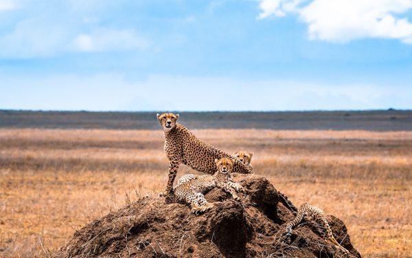 Några geparder spanar ut över savannen från en myrstack. Geparder är en vanlig syn på safari i Tanzania, Afrika.