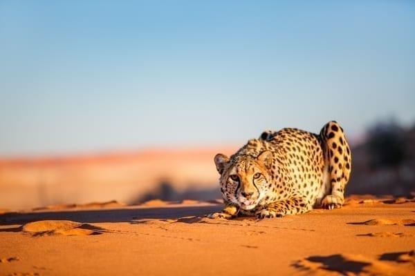 En gepard hukar sig bland Namibias röda sanddyner. Afrikakompaniet ordnar resor till Namibia, Uganda, Rwanda, Botswana, Madagascar, Mauritius med mera.