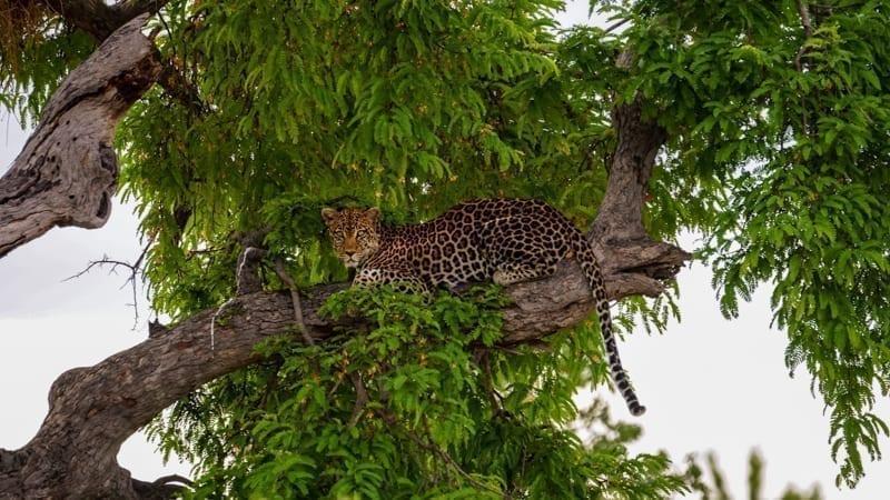 En leopard uppe i ett träd i Ruaha, en bra destination för safari i Tanzania om du vill se kattdjur
