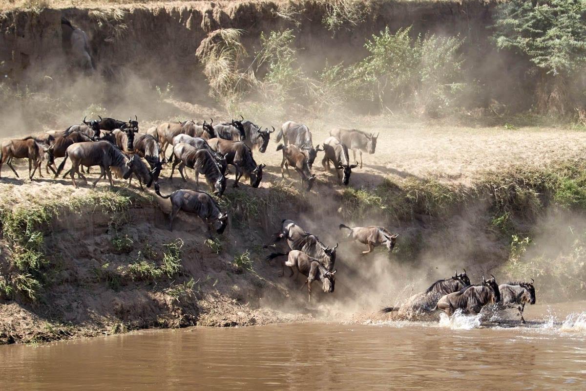 gnuer korsar en flod under den stora migrationen, då miljontals djur förflyttar sig i östra afrika. En minnesvärd upplevelse på din safari i Tanzania