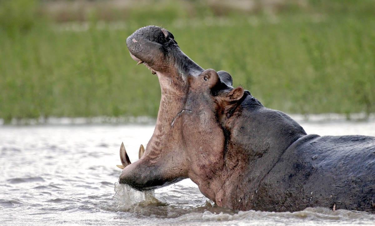 En flodhäst i Rufijifloden gapar stort. Möjligheten till flodsafari gör Selous unik som safaridestination i Tanzania