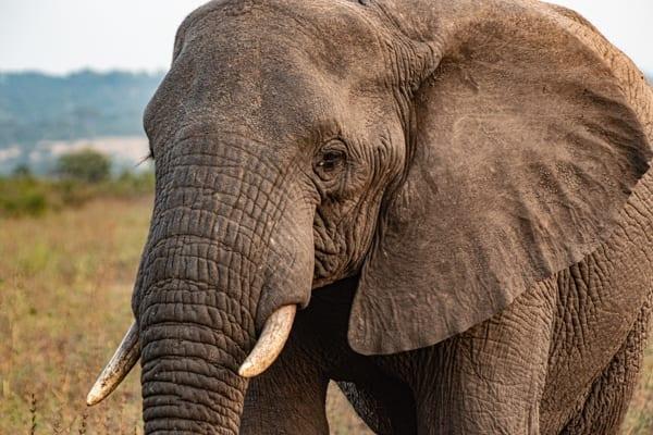 En elefant i närbild, på safari i närheten av Garden Route