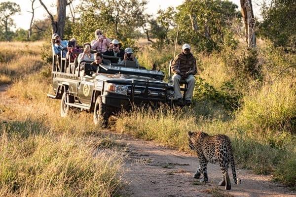 En leopard vandrar förbi en safaribil. I bilen sitter turister, en guide och en spårare. Så här kan de se ut när du åker på safari med Afrikakompaniet