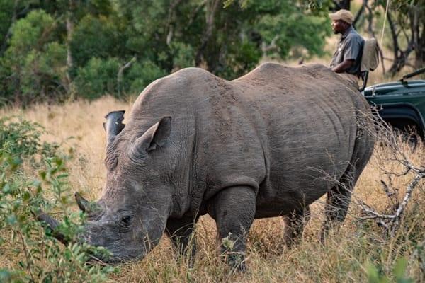 rhino noshörning framför en safaribil i Krugerparken på safari i Sydafrika