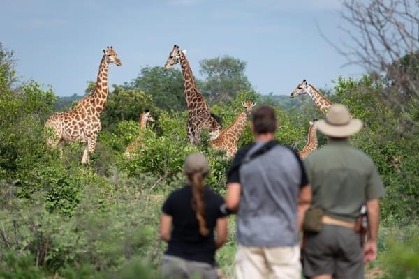 turister tittar på giraffer medan de är på walking safari i Sydafrika