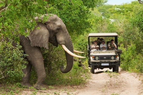 En stor elefant med jättestora betar kliver fram i förgrunden, i bakgrunden syns en bil fylld med personer på safari i Afrika Sydafrika