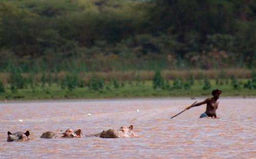 tre flodhästar simmar förbi en fiskare i sjön Naivasha i Rift Valley. Åker du till Kenya med barn är det här en perfekt destination