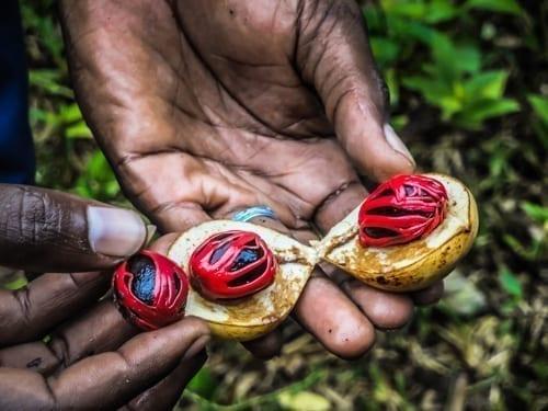 en hand håller i en färsk muskotnöt på kryddplantage i Zanzibar