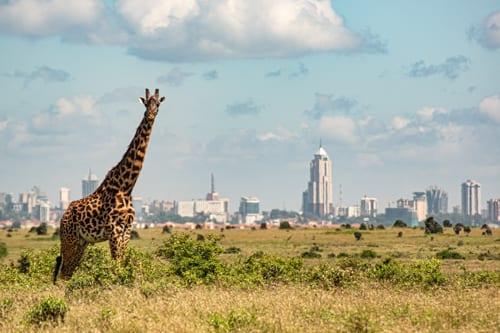 en ensam giraffe står på savannen, i bakgrunden syns Nairobis stadssiluett. Ni kan göra en malariafri safari i Kenya med barn här, i Nairobi National Park