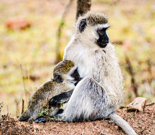 en liten apunge tröstas eller hålls om av mamma apa. Reser du till Kenya med barn kommer aporna att vara väldigt roliga att titta på.