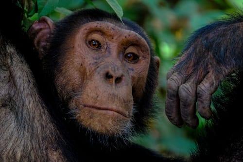 en schimpans tittar föraktfullt ner mot betraktaren. Även om du vill möta bergsgorillor i Uganda är det också möjligt att träffa schimpanser