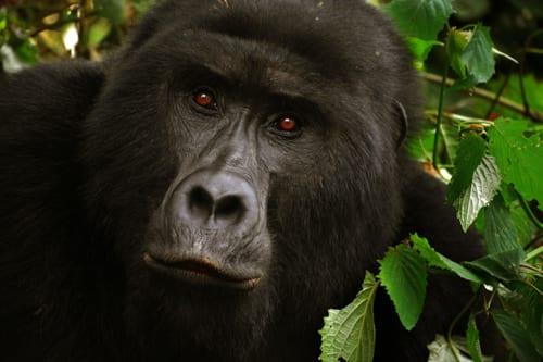 En gorilla tittar under lugg på fotografen. Du kan träffa bergsgorillor i Uganda
