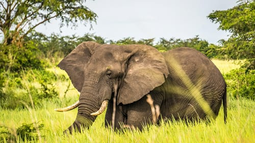 en elefant står omgiven av högt, grönt gräs. Även om många åker till Uganda för att se bergsgorillor är det fullt möjligt att göra en safari och se andra vilda djur.