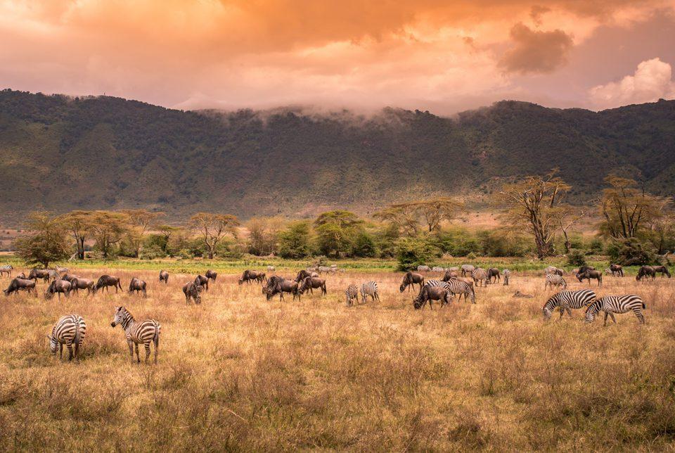 vilda djur betar i Ngorongoro Crater i Tanzania