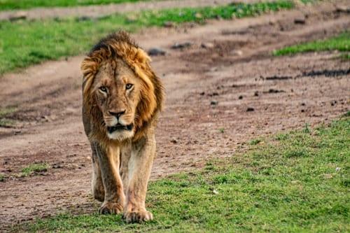 En ensam lejonhanne promenerar förbi en väg i Maasai Mara. Reser du till Afrika i covidtider kommer du att mötas av färre turister.