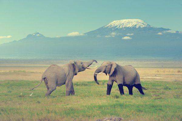 två elefanter i förgrunden och Kilimanjaro i bakgrunden