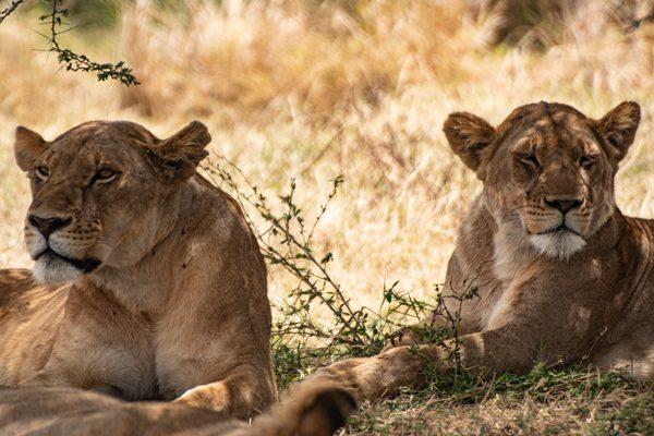 Två lejonhonor tar det lugnt i skuggan. Vare sig du väljer Tanzania eller Kenya är du nästan garanterad att se lejon.