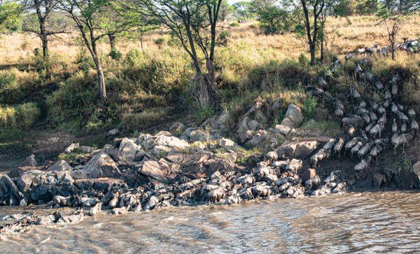 ett stort antal gnuer korsar Marafloden. Den stora migrationen då miljontals gnuer förflyttar sig kan ses i Tanzania eller Kenya.