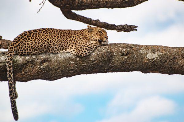 En leopard ligger på en trädgren och ser fundersam ut. Är Tanzania eller Kenya bästa landet för en safari?