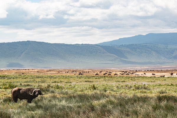 Ngorongorokratern i Tanzania är höjdpunkten på din resa. på bilden syns en ensam buffel framför en storslagen vy, med kanten av kratern i bakgrunden och mängder av djur.