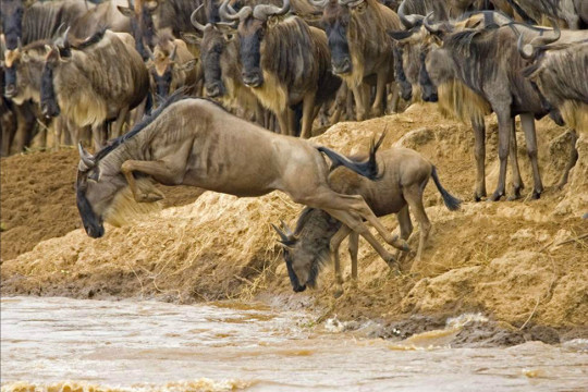 wildebeest_migration-540x360
