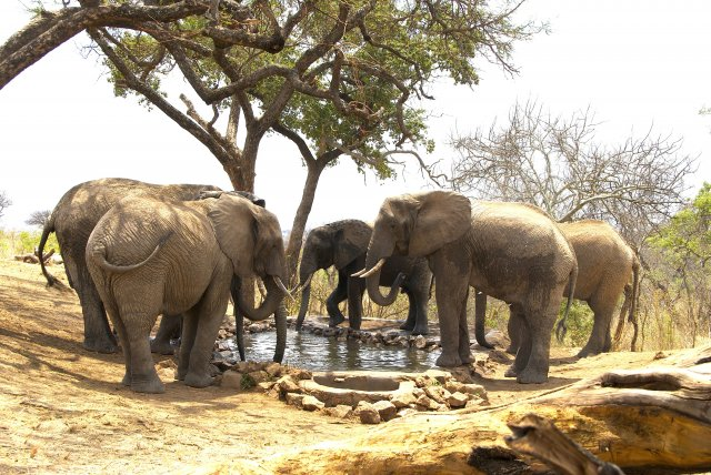 phoca_thumb_l_elephants-drinking-at-water-hole